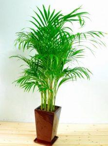 アレカシの観葉植物