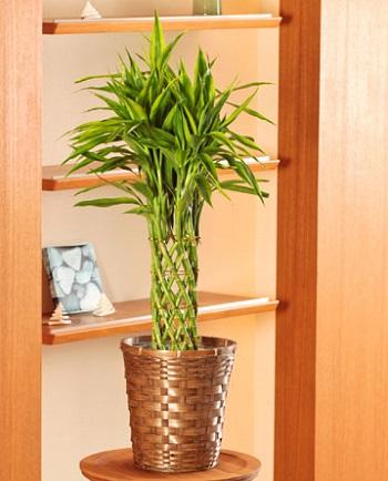 ミリオンバンブー観葉植物