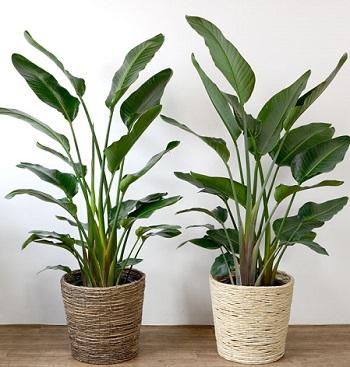 オーガスタ観葉植物